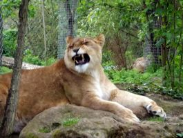 2014 - African lioness 11 by Lena-Panthera