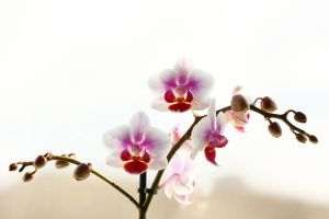 Orchid by AndreiaMoutinho