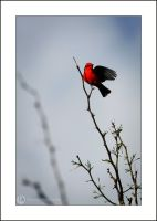 Vermillion Flycatcher by FideNullo