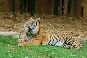 15 Tiger by Chunga-Stock