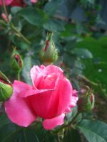 Bright Pink Rose in Bloom by Sing-Down-The-Moon