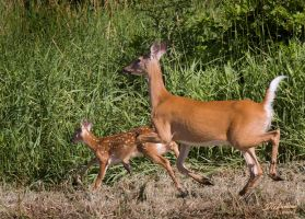 Mom and fawn one by DGAnder