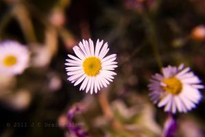 Dainty Daisies by jdrainville