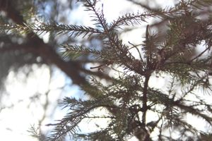 evergreen tree 3 by FreedomeSoul88