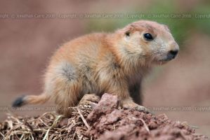 Marmot baby by InsaneGelfling