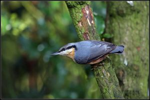 Nuthatch by cycoze