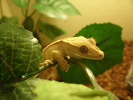 crested gecko by isaidno
