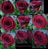 Water Droplets Rose Stock 4 by Melyssah6-Stock