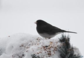 Snowy Birds Series #5 by LifeThroughALens84
