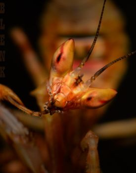 Indian Flower Mantis by Blaklisted