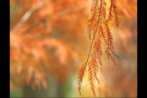 Red Feather on Baldcypress II by johnchan