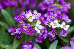 Purple and White Flowers by anzella88
