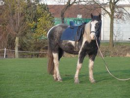 Dirk - Gray Tobiano Gelding - Lunging by Horselover60-Stock