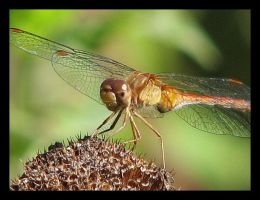 Dragonfly... by picworth1000wrds