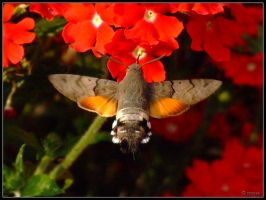 Hummingbird Hawk Moth by cycoze