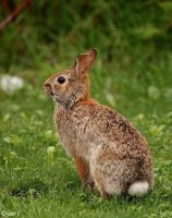 wild rabbit by Yair-Leibovich