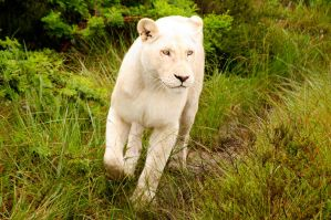 White Lion 01 by mynameis8523