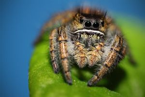 Phidipus clarus - Immature Female by TheTyro