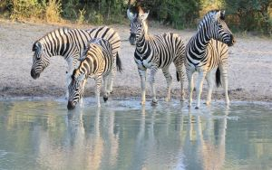 Zebra - African Wildlife - Sunset Shadows by LivingWild