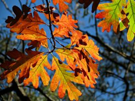 Colourful Oak Leaves by Michies-Photographyy