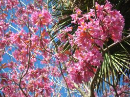 pink flowering tree 3 by crazygardener