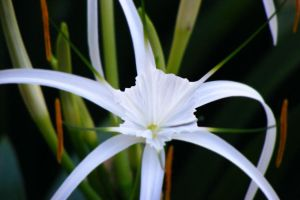 A little white flower 1 by BrightKnight