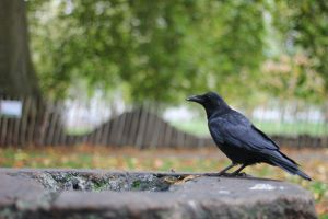 Crow:) by OllieCipres