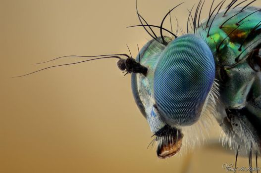 Long Legged Fly by AlHabshi