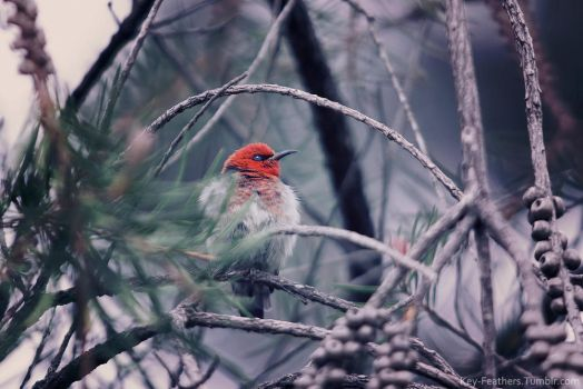Scarlet Honeyeater by Key-Feathers