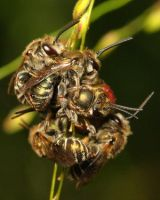 golden bee scrum by Insect-Lovers-Club