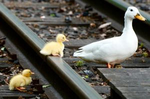 Ducks - Crossing the Railroad by Frangster