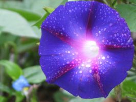 Purple Star Flower by MTaylorPhotography