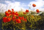 Papaver and Wheat 2 by JollyStock