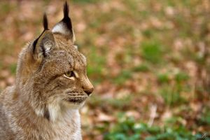 Lynx 2 by KrisSimon