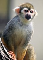 Squirrel Monkey by focusgallery