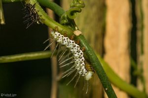 Recently molted zebra longwing caterpillar by CyclicalCore