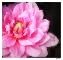 Floating Dahlia by seeknow