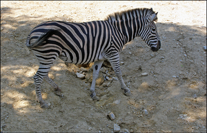 Zebra by Andre99