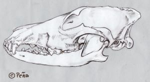 Coyote skull by Reptangle