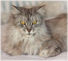 Olivia our Silver Maine Coon by substar
