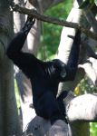 Siamang 3 by HymnsStock