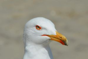 Seagull by Tohmis