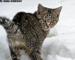 A Snowy type Cat... by AlainaLee