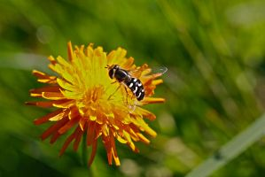 Hoverfly by organicvision