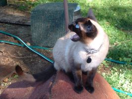 chattering tonkinese by Eris-stock