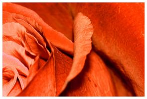 orange rose by sergiemag