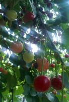 Cherries... by tomantic