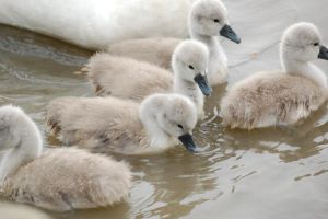 Swans a Swimming by Little-Princess-Kate