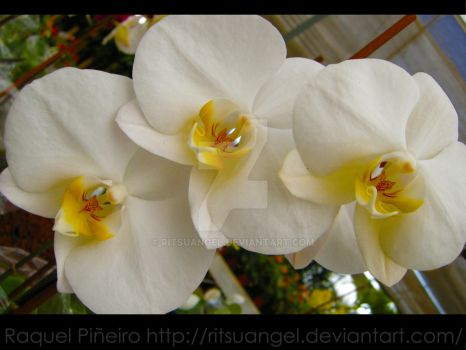 White Orchid by RitsuAngel