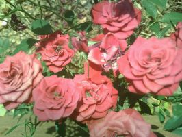 Oh look, more roses by Jeraxan